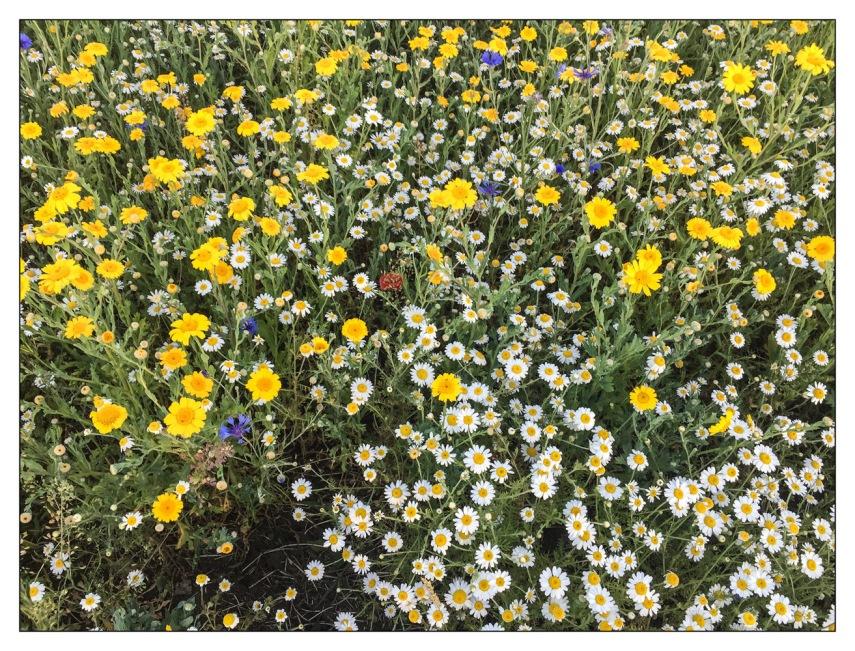 Wild Flowers - Stainland Rec